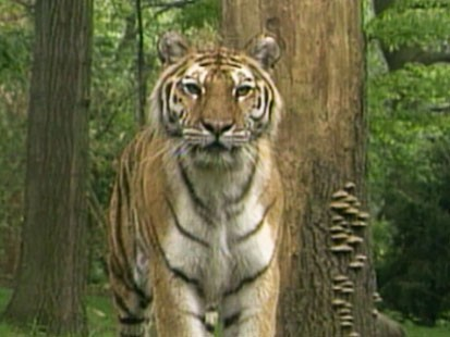 VIDEO: Activists fight over how to save tigers