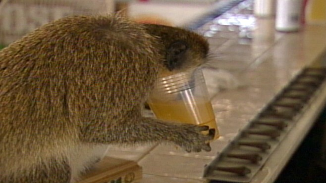 VIDEO: On the island of St. Kitts, its not uncommon for monkeys to snag alcohol.