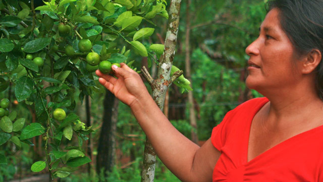 PHOTO:At a sustainable farm in the Colombian Amazon, Bayanira Yara inspects a new crop of lemons. Bayaniras farm, which grows a dozen different fruits, is part of a project to promote sustainable agriculture in the region.