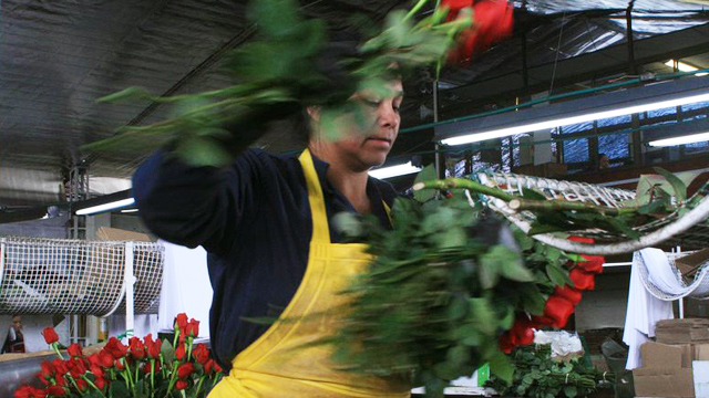 PHOTO:Flowers workers in Colombia often work in difficult conditions for the minimum wage. In this picture a woman cuts rose stems at Milonga Flowers near Bogota.