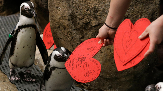 PHOTO: African penguins receive valentines from biologist Crystal Crimbchin at The California Academy of Sciences African penguin exhibit in San Francisco, Wednesday, Feb. 13, 2013. The valentines will be used as nesting material. (AP Photo/Jeff Chiu)