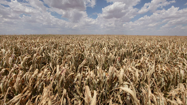 PHOTO: A corn crop dries up in a field July 28, 2011 near Perryton, Texas. A severe drought has caused most dry-land (non-irrigated) crops in the area to fail and forced farmers to abandon some fields in order to conserve their limited resources.