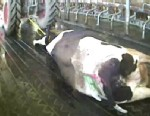 PHOTO: Hidden camera video led to criminal charges against employees at the largest dairy farm in Idaho, Bettencourt Dairies.
