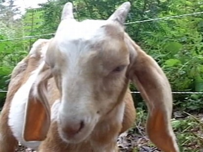 VIDEO: Wendy Bounds on ditching power tools and renting goats to trim the weeds.