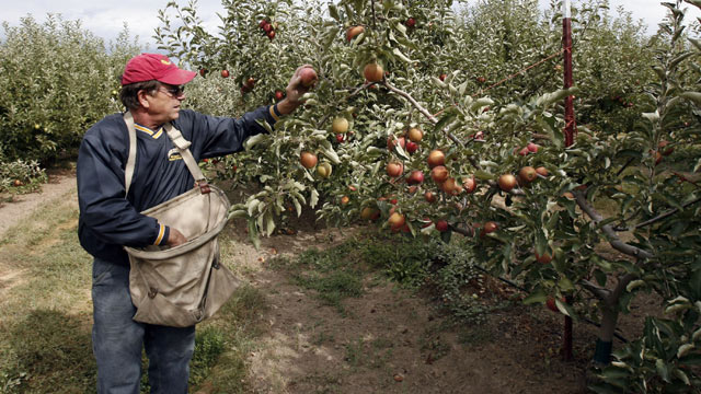 PHOTO: Mark Morrell picks over his Jona Gold apples at Walters' Fruit Ranch on September 18, 2006 in Green Bluff, Washington in this file photo.