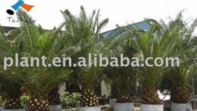 PHOTO: Palm trees available from Alibaba.com.