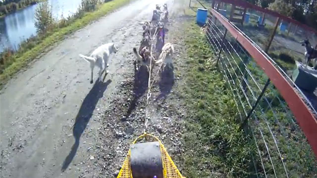 "PHOTO: Brent Sass takes his team of dogs on his daily commute saying on his youtube video, ""No better way to commute to work then by dog team""."