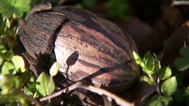 VIDEO: Soaring wholesale prices of pecans have thieves targeting nut farmers.