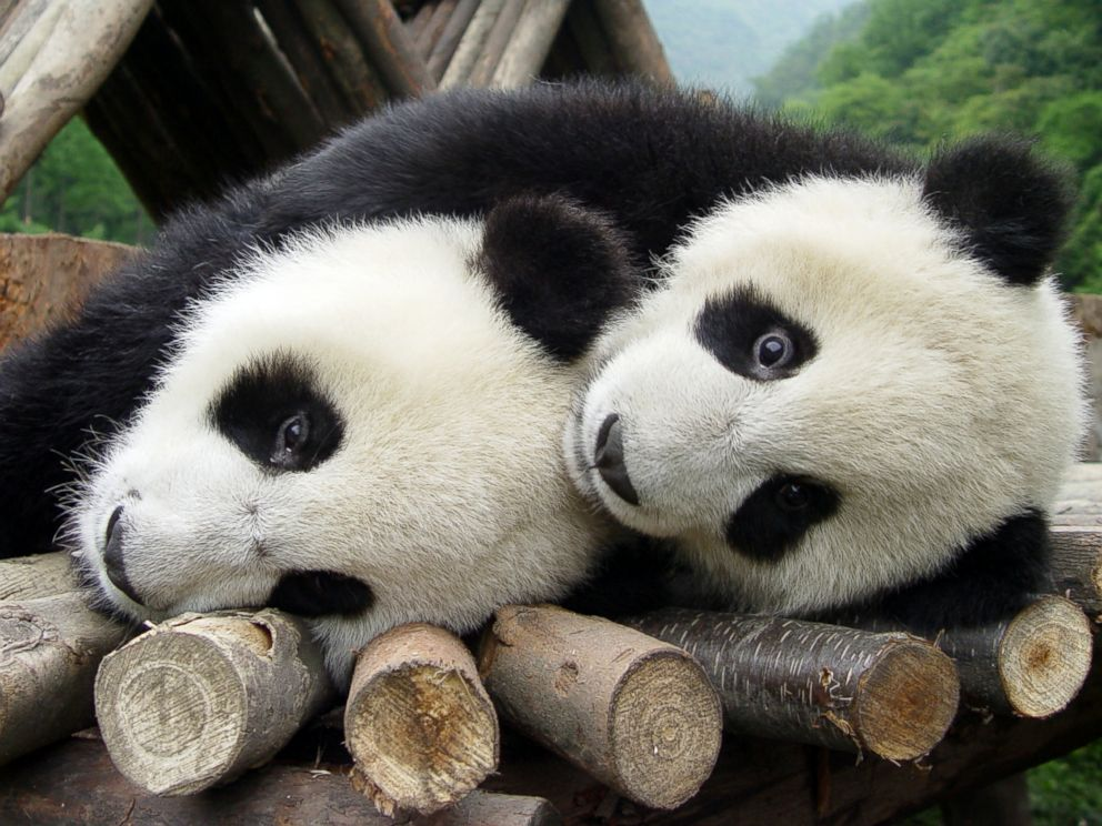 PHOTO: Two giant pandas play at China Giant Panda Protection and Research Centre in Wolong National Natural Reserve, southwest Chinas Sichuan province, in this May 14, 2005 file photo.