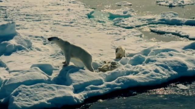 VIDEO: A mother polar bear and her two cubs navigate the changing Arctic landscape.