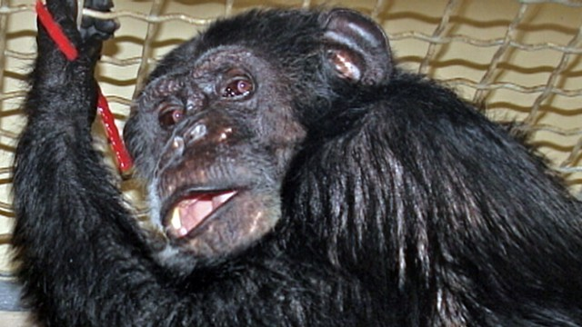 """VIDEO: Some people doubt that the chimpanzee was the one to appear in """"Tarzan"""" films."""