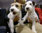 PHOTO: Russell Terriers