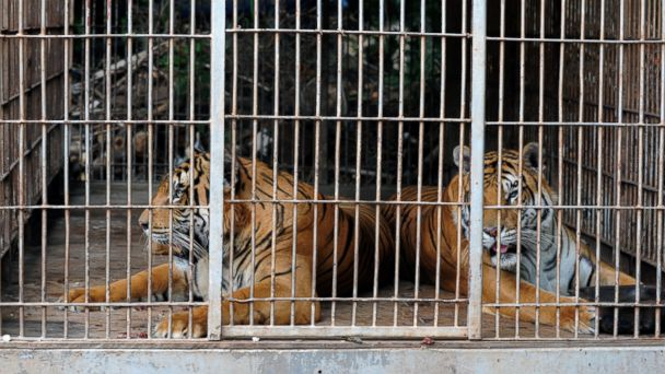 PHOTO: Two, of nine, Bengala tigers remain in a cage in a zoo in Asuncion, Paraguary on January 10, 2013