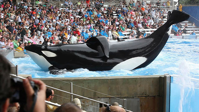 """PHOTO: """"Blackfish,"""" a documentary focused on SeaWorld Orlandos orca Tilikum and claims captivity traumatizes killer whales, is being shown at the American Film Institutes AFI Docs film festival in Washington, D.C."""