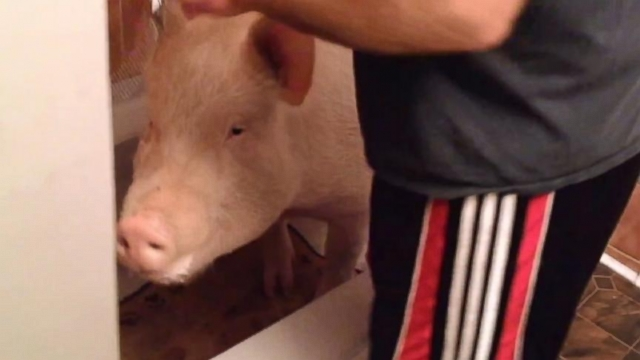 VIDEO: Esther the Wonder Pig Gets a Bath