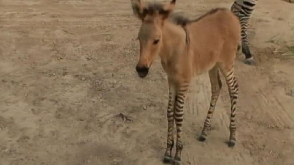 VIDEO: Rare Zonkey Born in Mexico Zoo