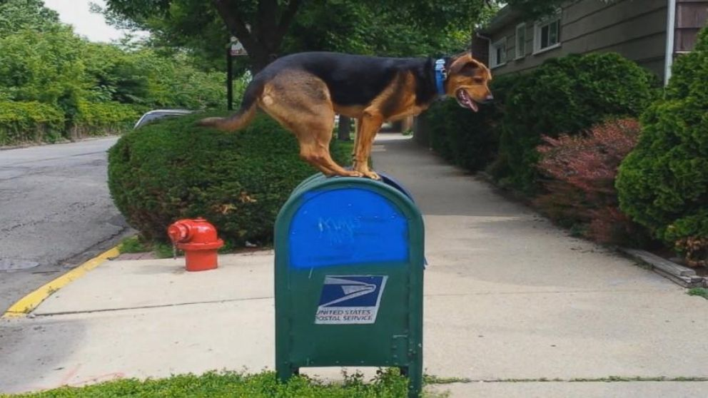 VIDEO: Noodles the Dog Leaps Onto Mailboxes