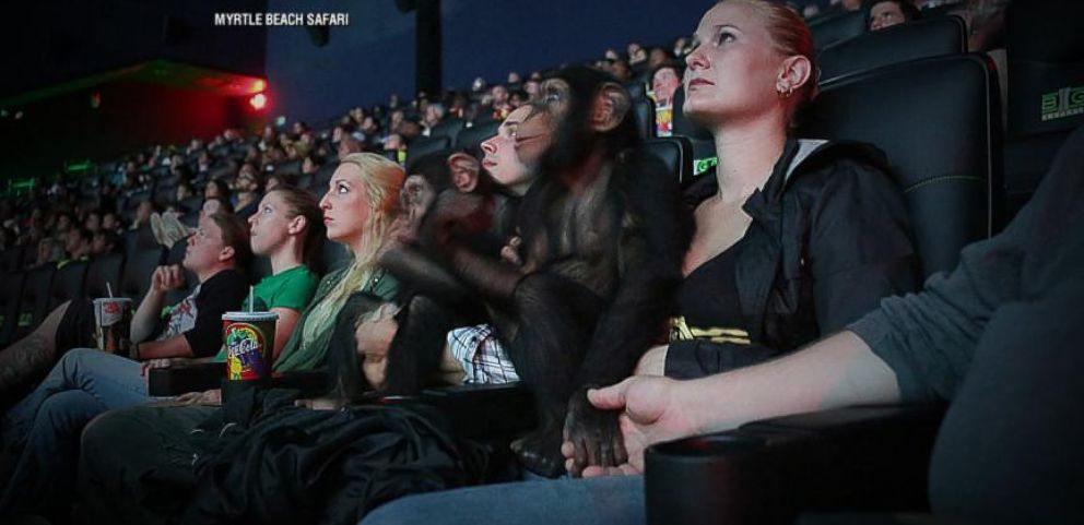 VIDEO: See how the chimpanzees prepare for one of the biggest blockbusters of the summer.