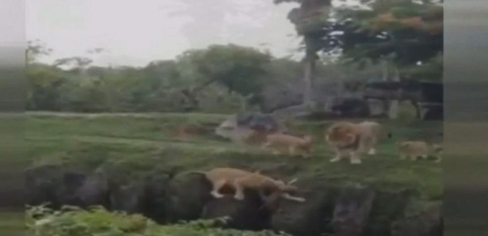VIDEO: Lion Saves Lion Cub at Zoo