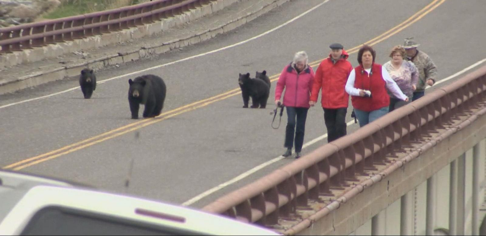 Watch black bears chase visitors in yellowstone national park abc