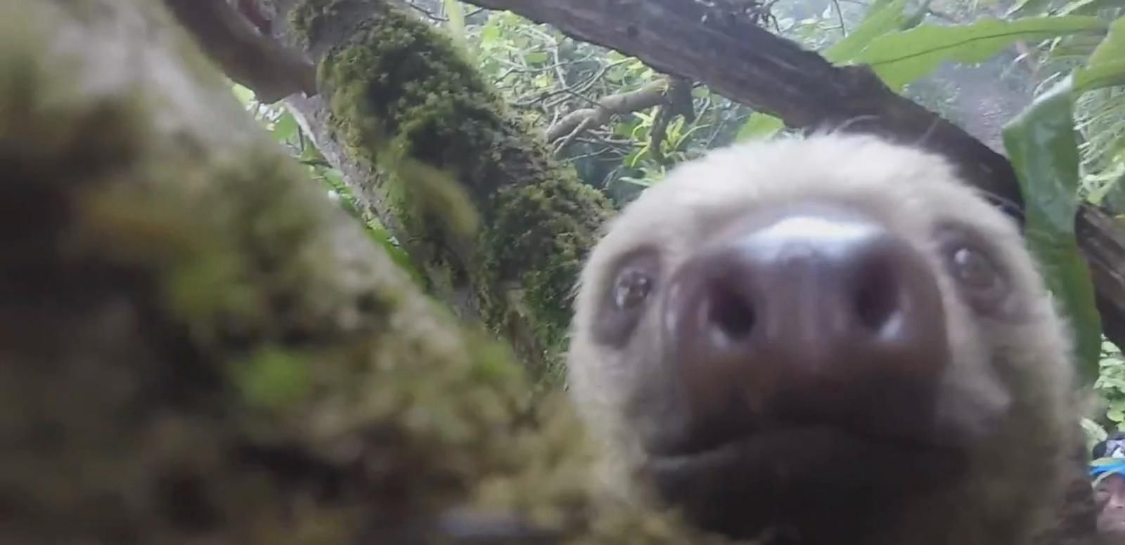VIDEO: Curious Sloth Takes a Selfie