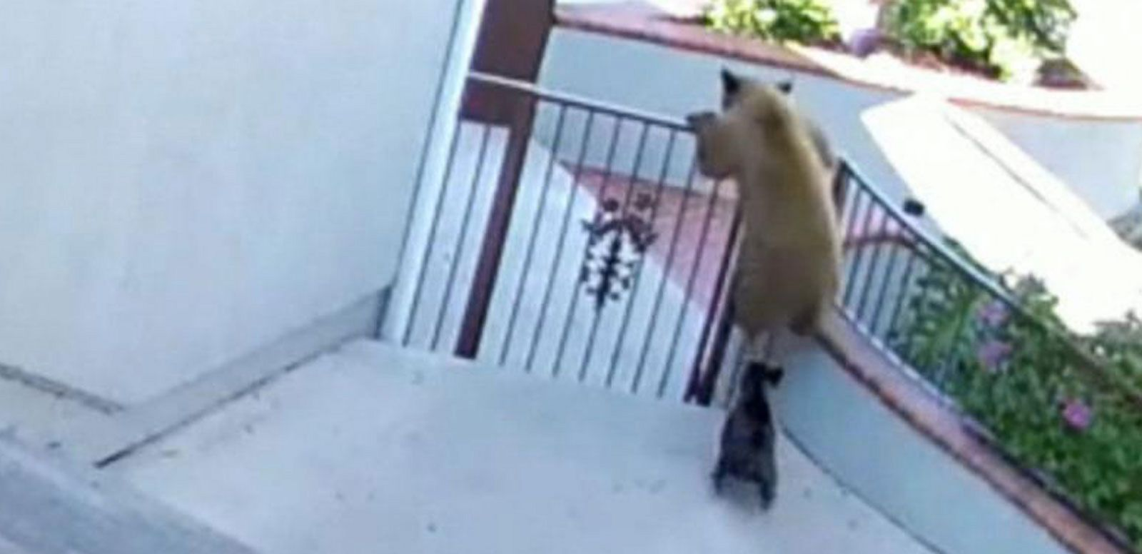 VIDEO: Bulldog Chases Away Three Bears