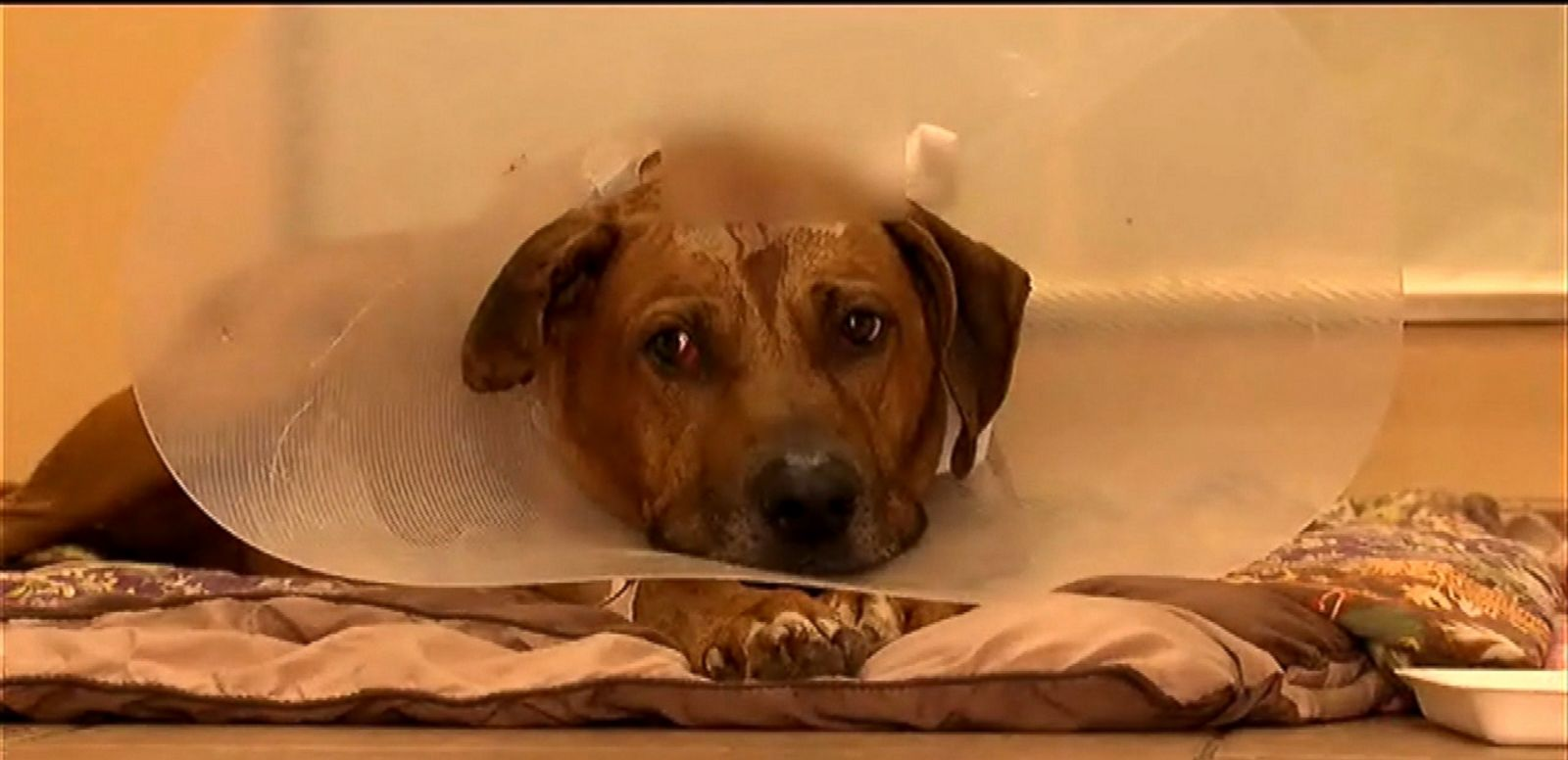 VIDEO: Doctors credit the dog's survival to his thick skull and trajectory of the bullet.