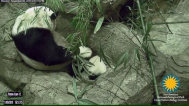 ' ' from the web at 'http://a.abcnews.go.com/images/GMA/151111_dvo_beibei_first_steps_16x9t_384.jpg'
