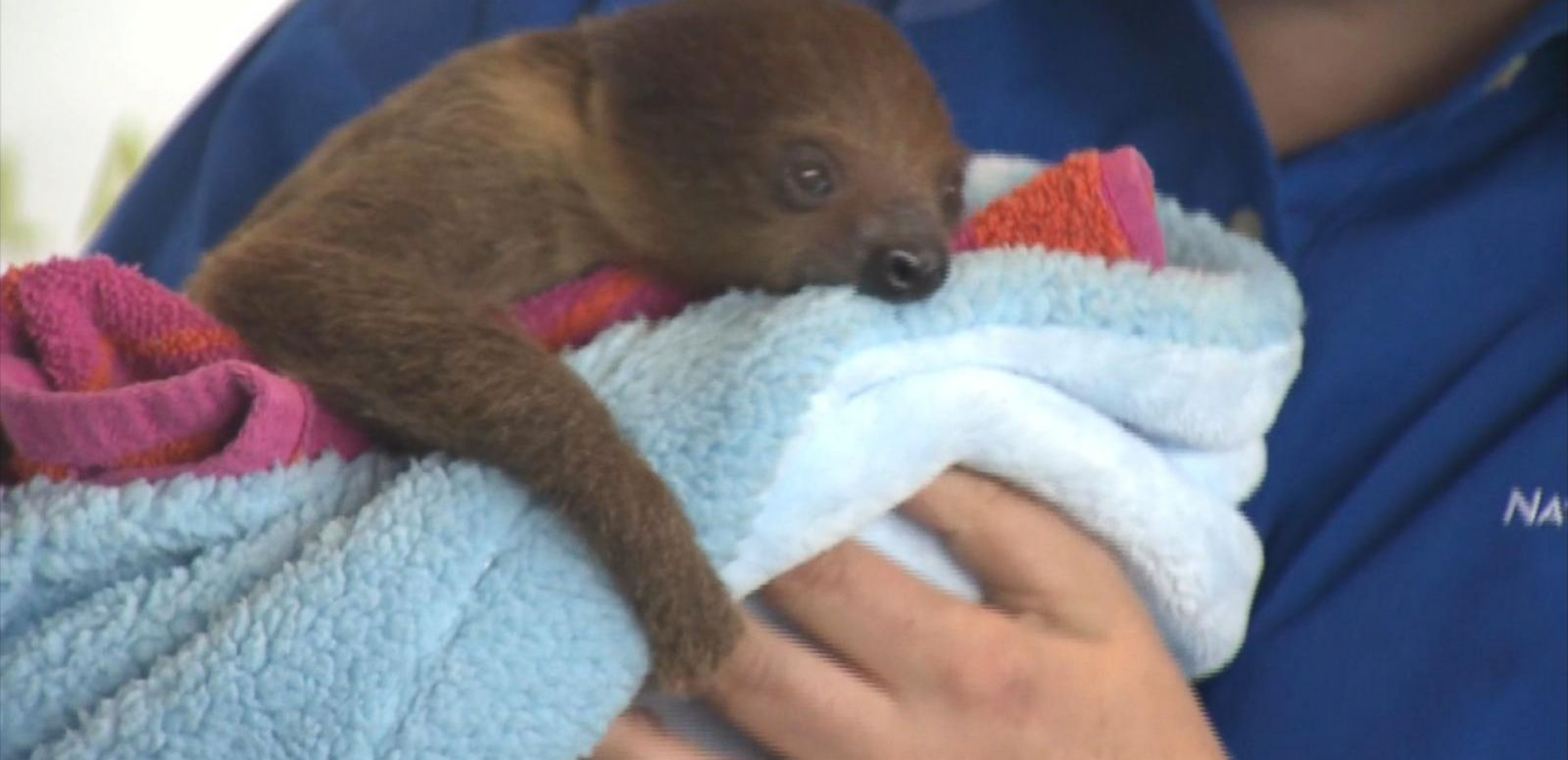 VIDEO: The adorable 3-month-old sloth joins the National Aviary in Pittsburgh.
