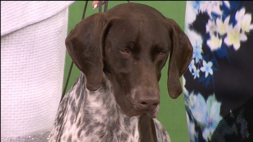 VIDEO: German Shorthaired Pointer Wins Best In Show at Westminster
