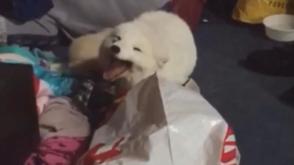 Adorable Pet Arctic Fox Starts Cracking Up Whenever He