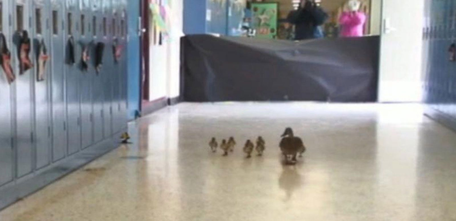 VIDEO: Mother Leads Ducklings Through School Halls
