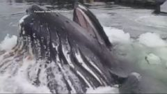 VIDEO: Footage shows the up-close encounter that one person had at Knudson Cove Marina.