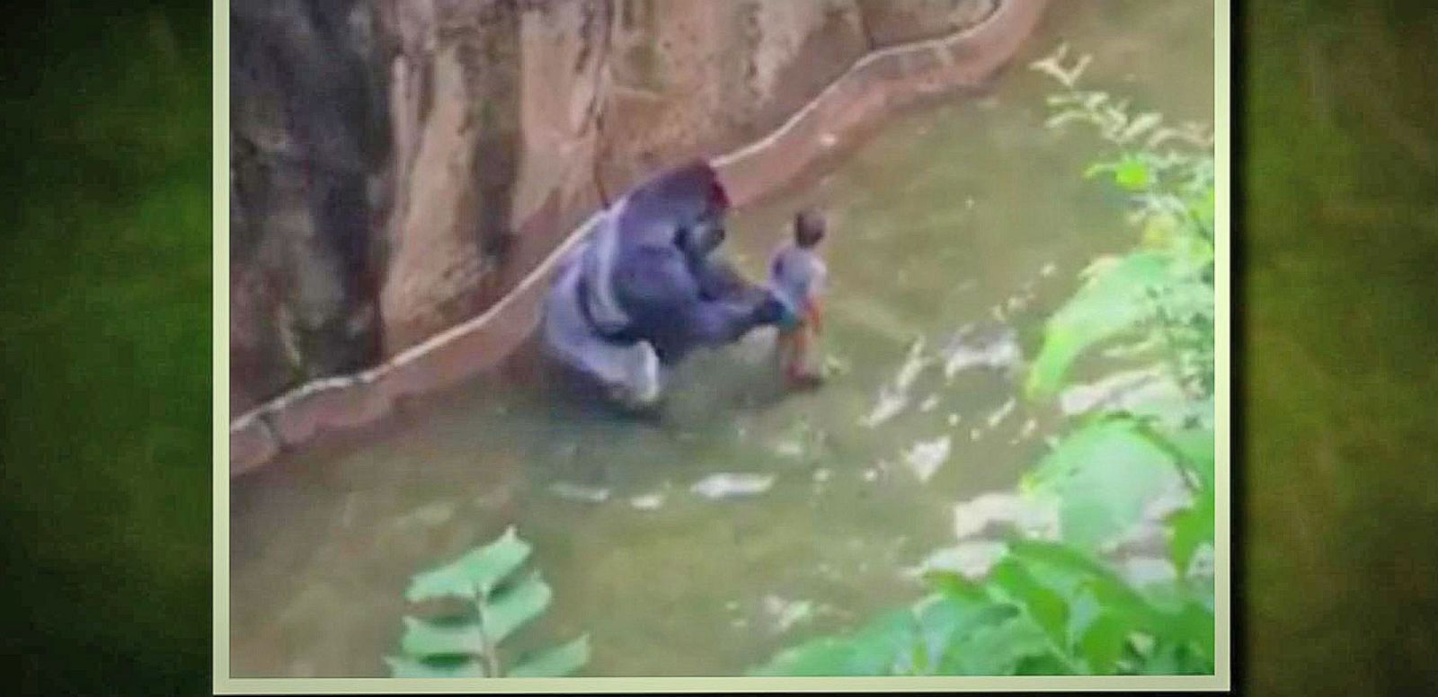 VIDEO: Child Tumbles Into Gorilla Enclosure at Cincinnati Zoo