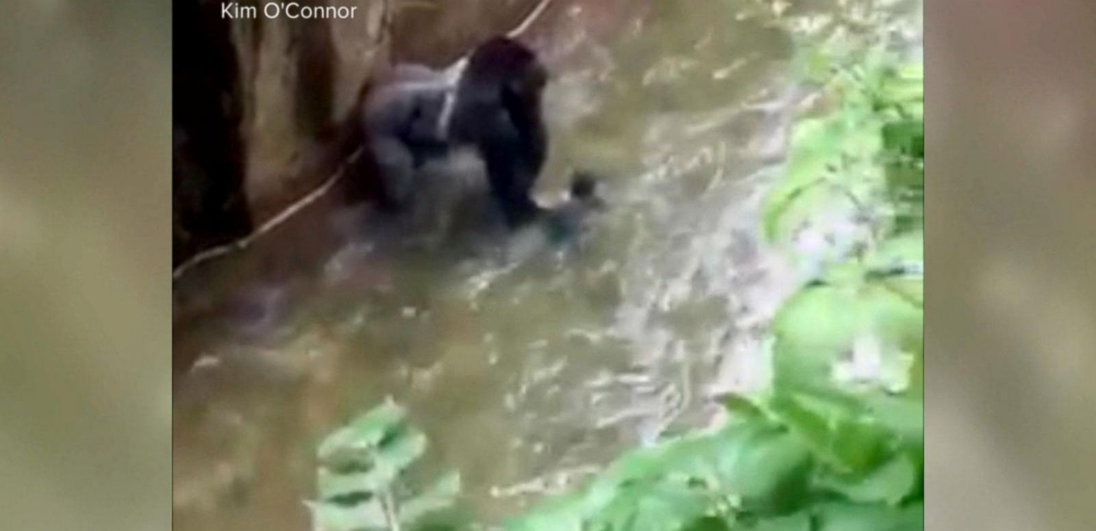 VIDEO: New Questions on How Toddler Got Into Zoo's Gorilla Enclosure