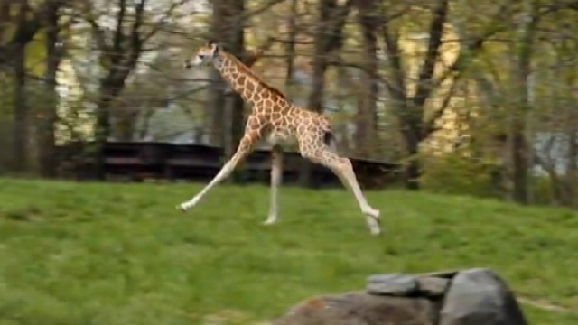 VIDEO: A Baringo giraffe calf plays alongside her mother in New York.