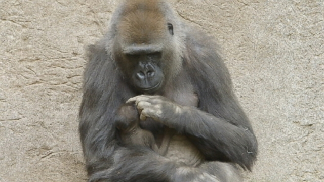 VIDEO: Baby gorilla makes public debut at San Diego Zoo.
