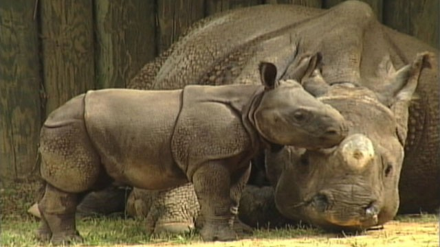 VIDEO: Ethan is the first rhino in the world to be born through artificial insemination.