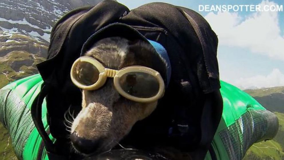VIDEO: Video shows dogs crazy base jump with owner Dean Potter.