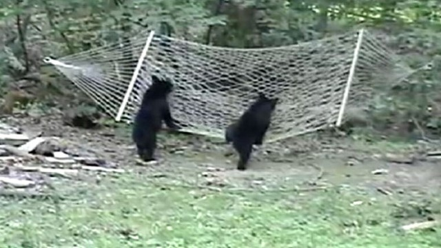 VIDEO: A New Jersey woman catches two little bears trying to climb on her hammock.