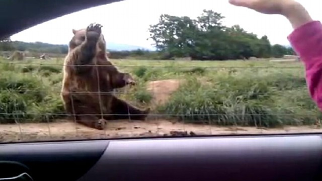 VIDEO: Video of a polite bear sitting on the side of the road goes viral on YouTube.