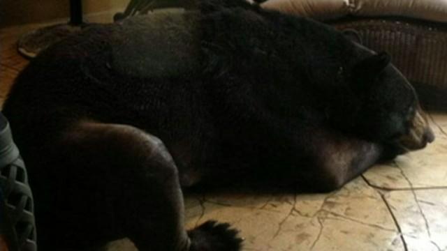 VIDEO: Bear Caught Napping on Lanai