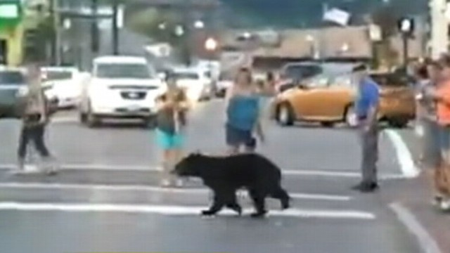 A bear was caught on camera in Gatlinburg, Tenn., walking with the crowds.