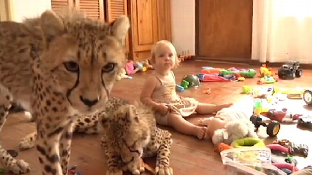 "VIDEO: The documentary ""Cheetah House"" follows a South African family that adopted two cheetahs."