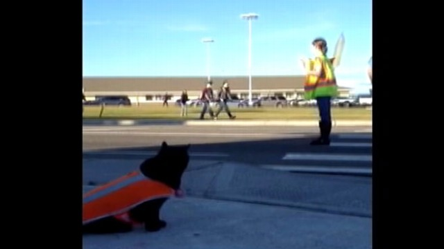 VIDEO: Sable the Cat Acts as Crosswalk Guard