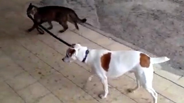 VIDEO: Ruti the cat pulls on a leash to lead Pemba the Jack Russell terrier home.