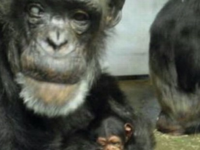 VIDEO: Old Chimp Has Baby
