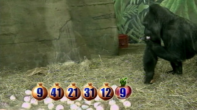 VIDEO: The Columbus Zoos gorilla has a notable track record for picking winners.