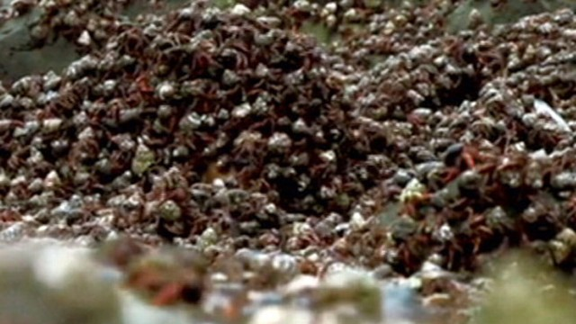 VIDEO: Epic Hermit Crab Migration Captured on Camera