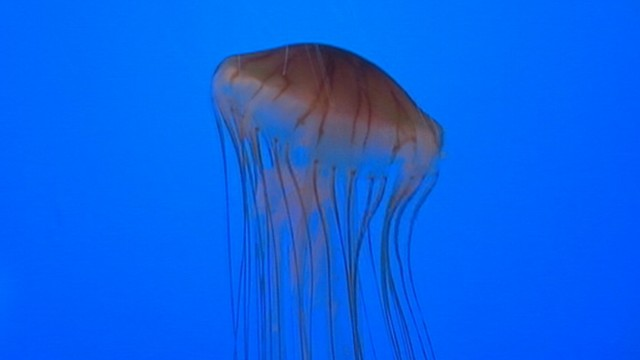 VIDEO: Changing weather patterns might be causing increase in jellyfish stings.